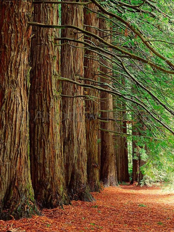 Redwoods, Great Otway National Park, Victoria   Australia