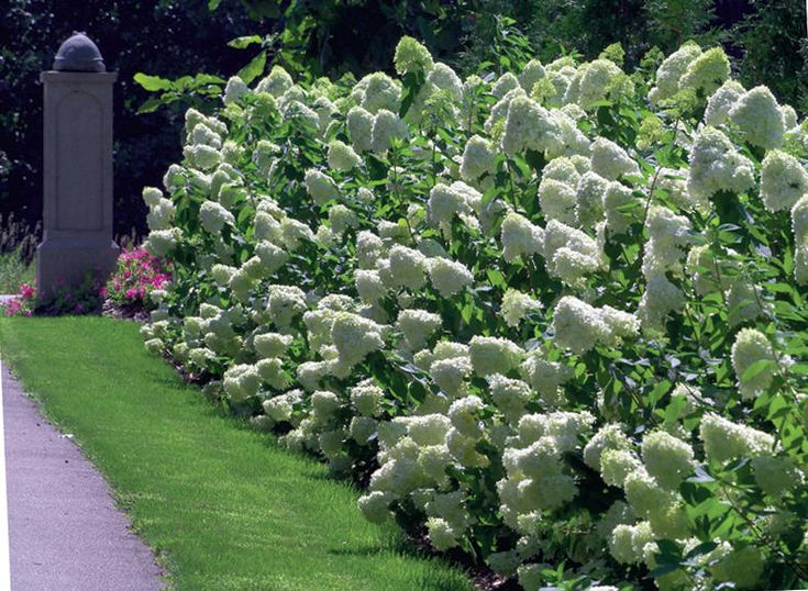 "Hydrangea paniculata ""Limelight"". Stunning border plant. This is on my ""must-have"" list!*"