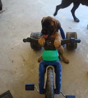 Mastiff Dogs| Mastiff Dog Breed Info & Pictures | petMD