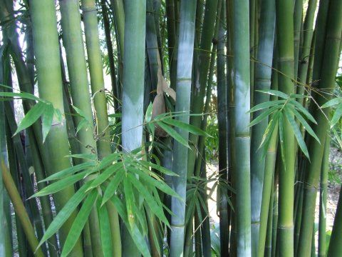 bambusa textilis kens bamboo in backbought from boo for you bamboo garden - Bamboo Garden 2016
