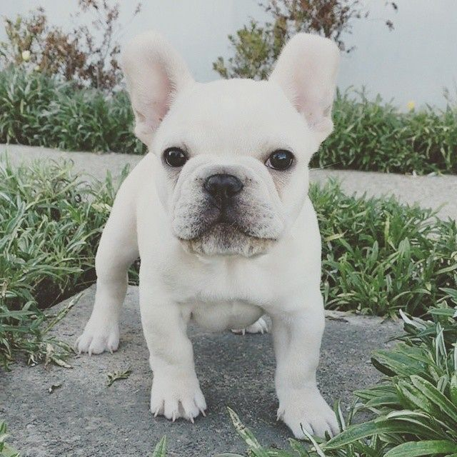 White love <3 http://frenchbulldogbreed.net/