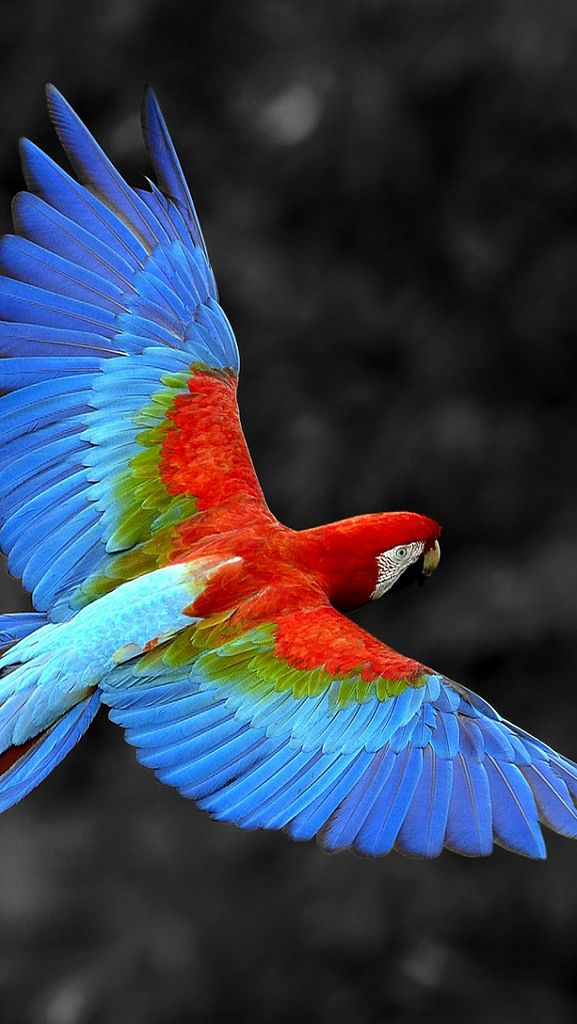 parrot_flying_colorful_feathers_trees_16706_640x1136 | Flickr - Photo Sharing!