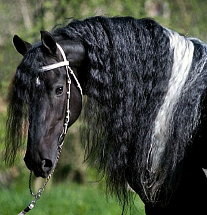 Barockpinto stallion, Allard BP21, of Pinto Friesians in the Czech Republic.