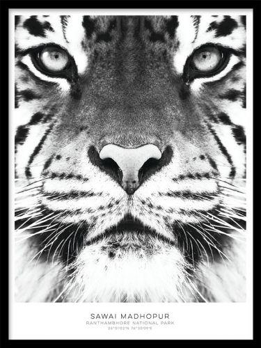 Svartvit tavla med tiger, fin till tavelvägg. Posters / affischer med svartvita fotografier. Fotokonst. Poster i strl 30x40 och 50x70cm. www.desenio.se