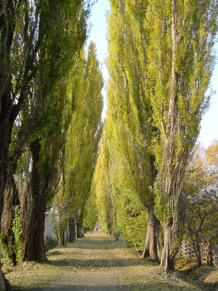 """Poplar trees at Hokkaido University.  I lived near here as a child--very """"natsukashi""""!"""