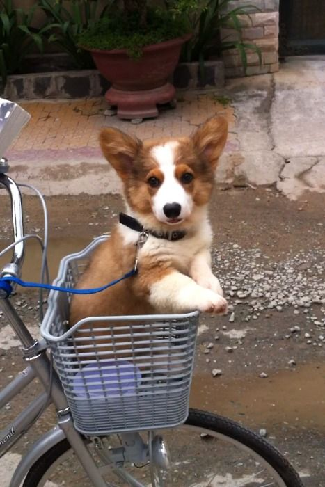 We needed this set up for our little Winifred when she was a puppy.  Collars and leashes overwhelmed her and we spent her first year carrying her on walks to help her overcome her fears!  Corgis are solid compact packages to carry!!  Much better idea!: Corgis, Corgi Puppies, Corgi S, Bike Baskets, Adorable Corgi, Dog, Animal
