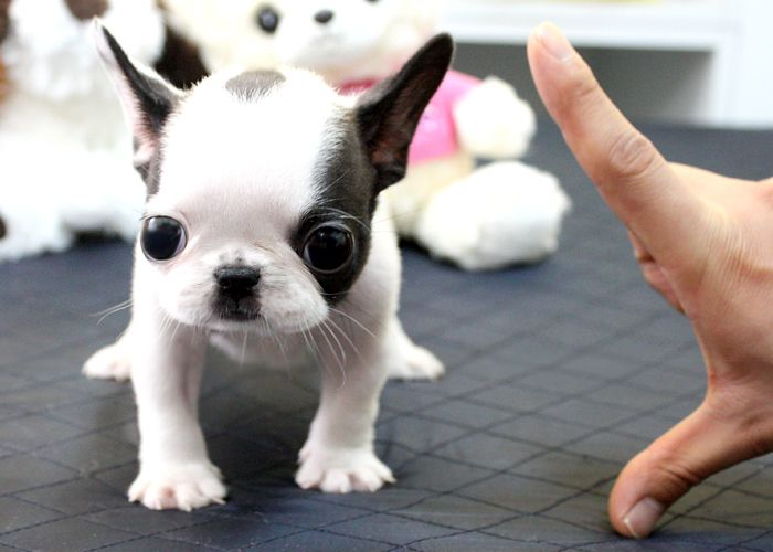 Just precious baby face little french bulldog male available. He is a black and white fabulous little boy. Tons of personality and so very sweet. He is going to be a very small little guy. Only about 10 to 12 pounds estimating which is super small for a french bulldog. So cute with his oreo markings and just perfect!Visit http://www.buypuppiesonline.com/ for more information