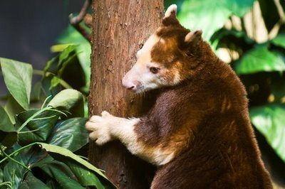 Ursine Tree Kangaroo (Dendrolagus ursinus)
