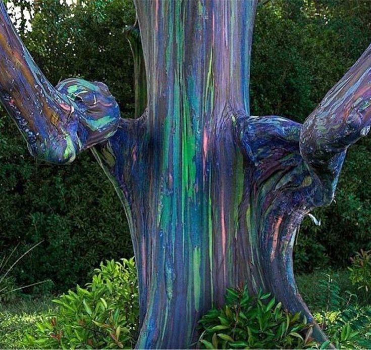 fenômeno natural-Eucalipto De Arco Iris  Este multicolor árbol posee una variedad de tonalidades parecidas a un arcoíris, porque su corteza se rompe en diferentes momentos, permitiendo así que el árbol envejezca de color diferente.