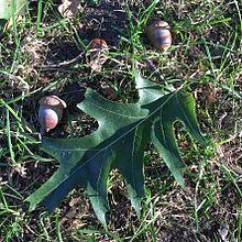 Chêne rouge d'Amérique — Wikipédia