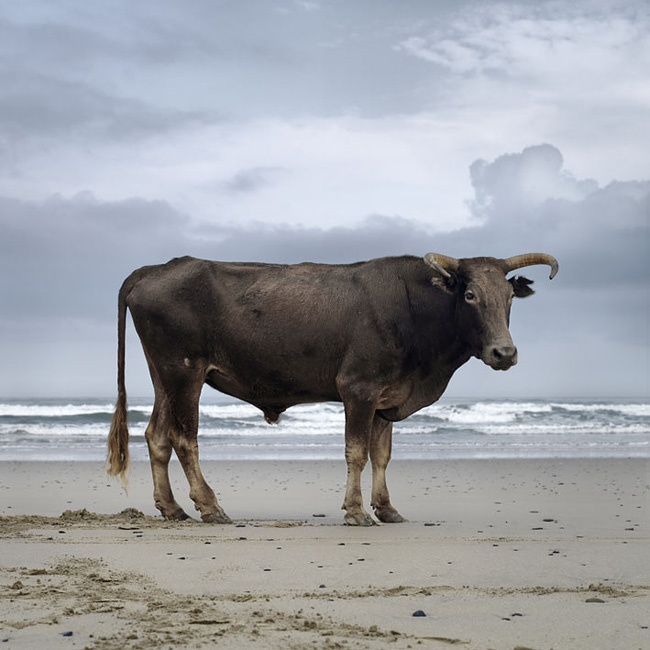 Xhosa cattle, Eastern Cape, South Africa