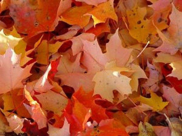 De bladeren in mijn toneelstuk zouden rode bladeren zijn. Bladeren die we terug kunnen vinden in de herfst wanneer ze van de bomen vallen. De herfst is een prachtig seizoen waar er plaats wordt gemaakt voor nieuw leven.