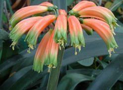 gardenii