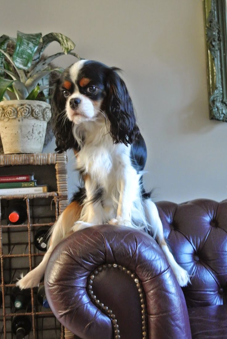 Cavalier King Charles Spaniël: Miss Milla at Home