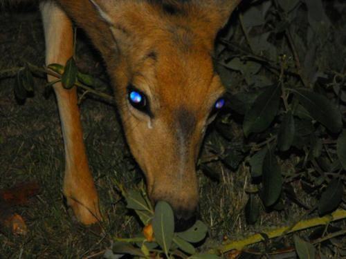 Tapetum lucidum seen in a deer