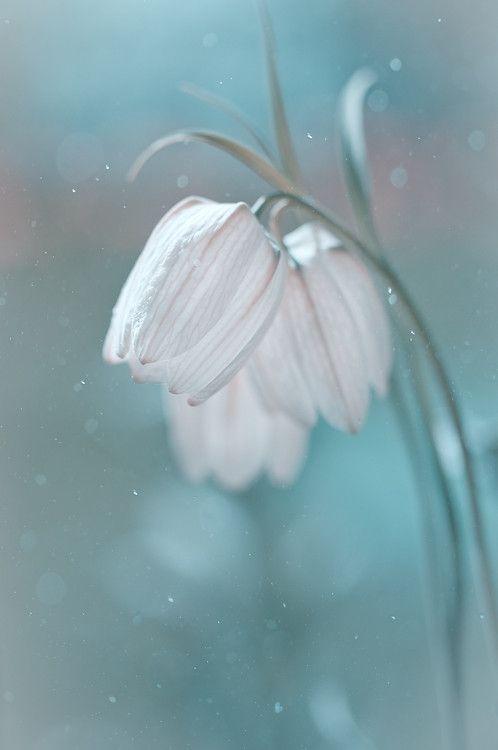 Fritillaria by Magda Wasiczek, via 500px