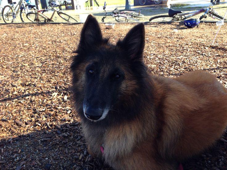 Ella (Tervueren) after her Endurance Test