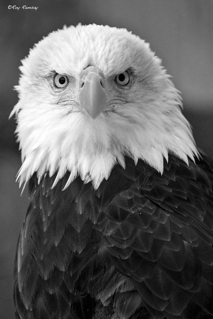 Eagle Stare by Roy Ramsay on 500px
