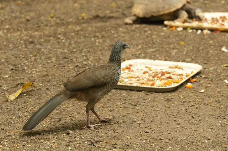 A wild bird native to the area appears to munch on leftovers.