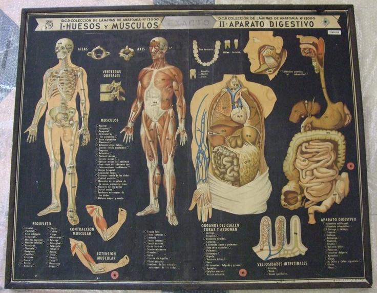 Mejores 10 imágenes de Anatomía - Láminas antiguas. en Pinterest ...