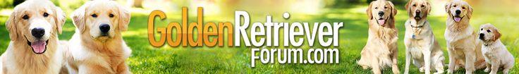Female - spay time? Tech help ... - Golden Retrievers : Golden Retriever Dog Forums