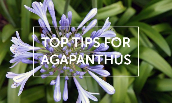 Be sure to check this one out. Here's our top tips for Agapanthus!