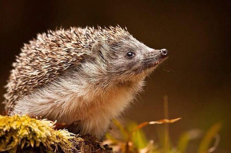 Just sniffin' around... #hedgehog