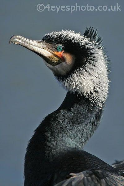 Great Cormorant | Great Cormorant (CR-B-CO01) Photo Print | 4eyesphoto.co.uk