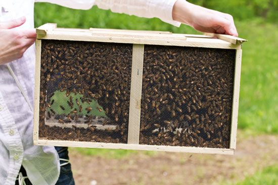 Beekeeping for Beginners—includes tips on buying bees, what kind of start colony to pick, and info on different types of honey bees
