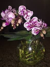 Risultati immagini per выращивание орхидеи в вазе в воде