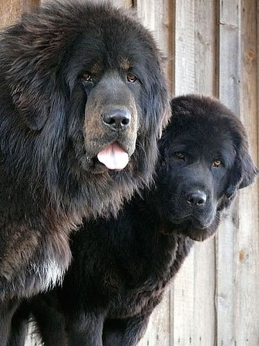 Tibetan Mastiff - i want to snuggle with them