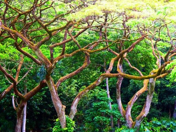 Hawaiian Juniper Trees