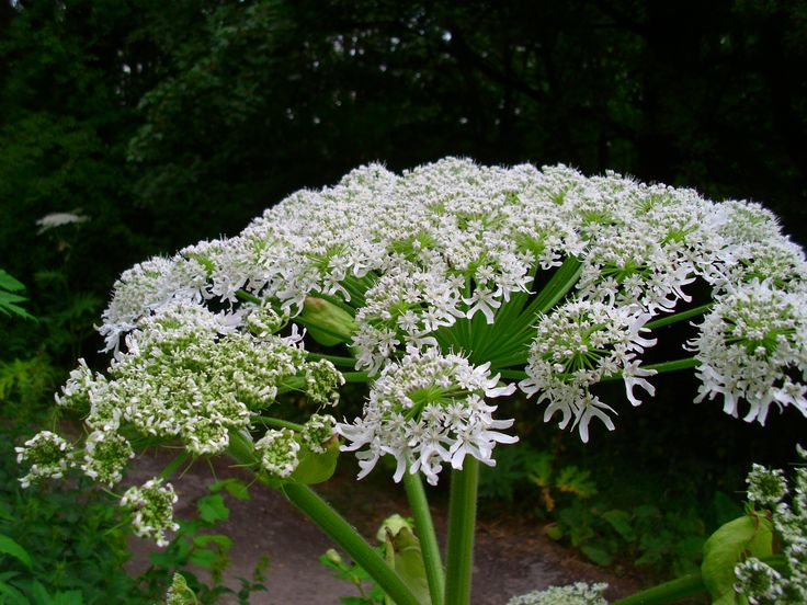 News - Plant that can cause third-degree burns popping up in Canada - The Weather Network Giant Hogweed. Good pics of what it looks like.
