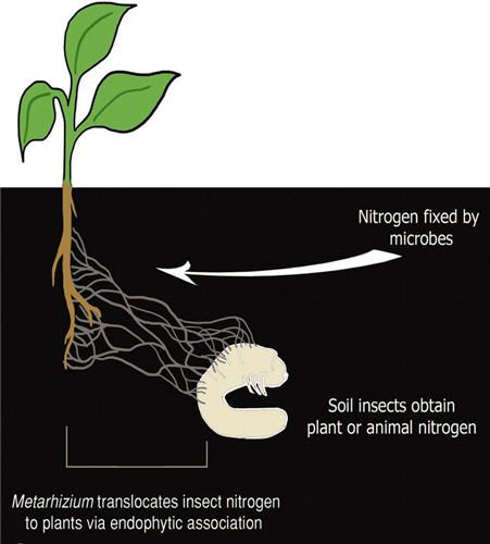 Fungi Feed Insect Nitrogen to Plants. The fungi, Metarhizium,  transfers nutrients from the insect corpses into the roots of plants. The fungi is also capable of killing many insects.