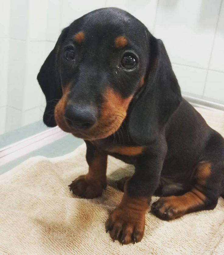 """Él es Theodore un perro salchicha (""""perro salchicha"""" también conocido como perro salchicha) de …   – teckel"""