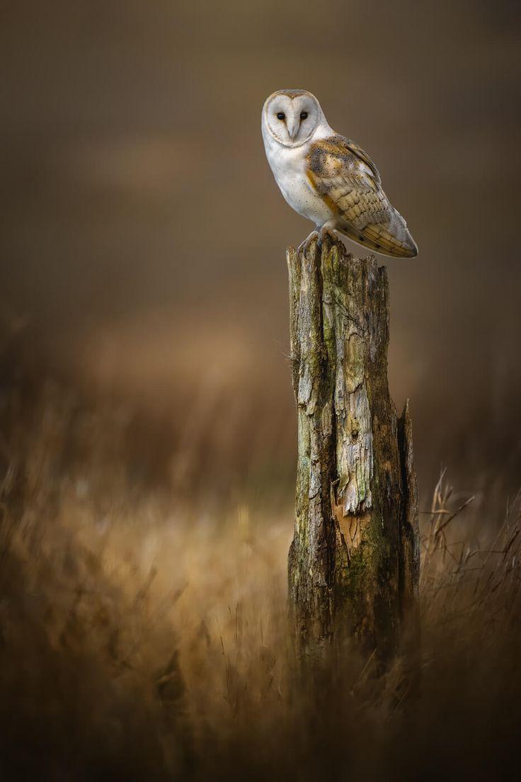 Barn Owl Fine Art Prints | Buy your prints here ...