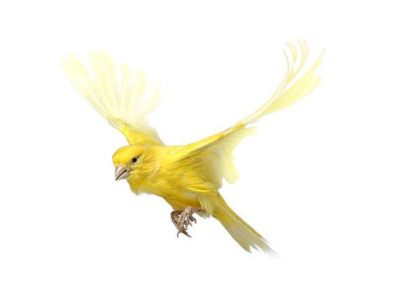 Yellow Bird Flying