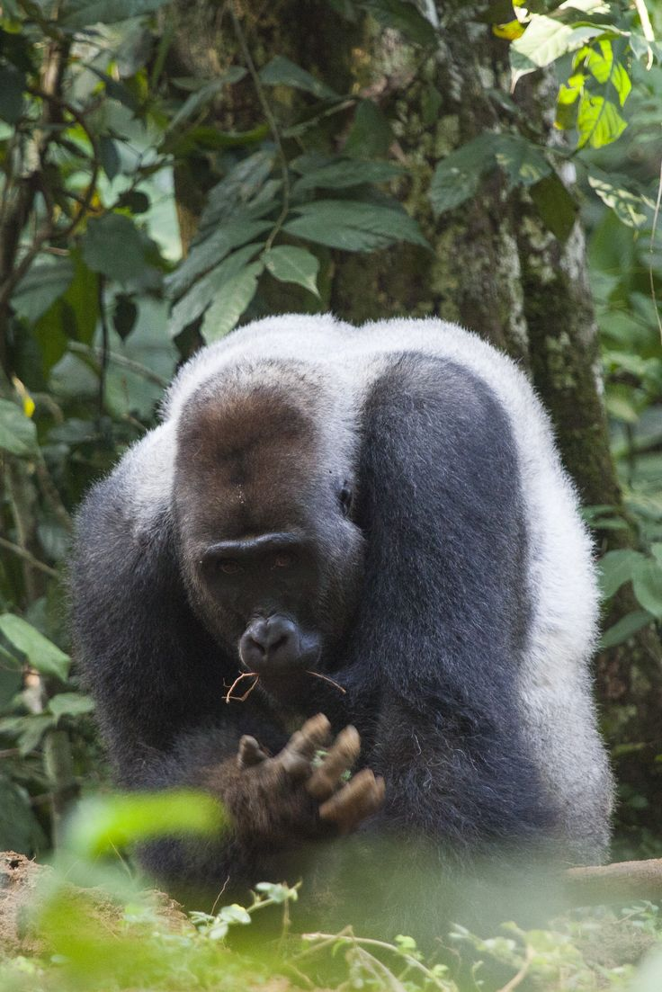 African mountain animals - Neptuno Chews On His Breakfast And Keeps A Beady Eye On His Visitors Congo