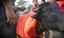 Nepal temple bans mass animal slaughter at festival | World news | The Guardian