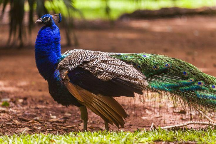 Бразильский птичий рай от Антона Пертуся (Anton Petrus)