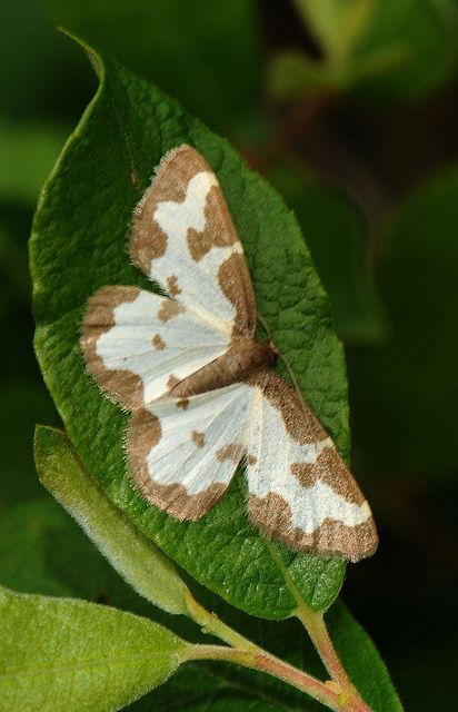 Clouded Border Moth