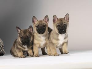 Pedigree KC Registered Swedish Vallhund Puppies in Atherstone ...