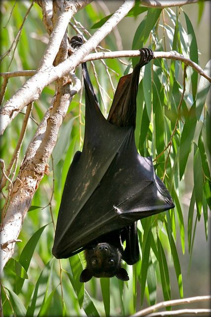 Flying fox at Windjana Gorge (Gibb River Road) in Western Australia http://fractionsoftheworld.wordpress.com/2013/03/21/six-showstoppers-of-the-gibb-river-road-part-ii/