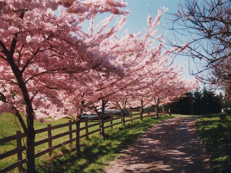 Akebono Flowering Cherry Tree Lined Driveway Backyard
