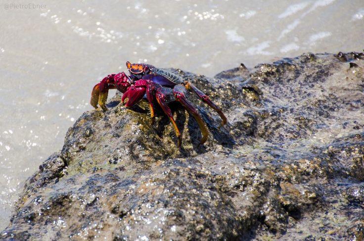 #Crab #fuerteventura
