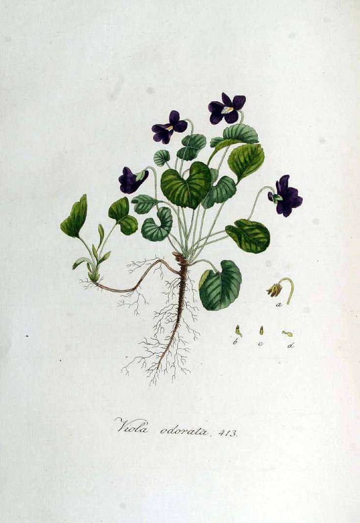 ニオイスミレ Viola odorata L. sweet violet Kops, Flora Batava (1832)