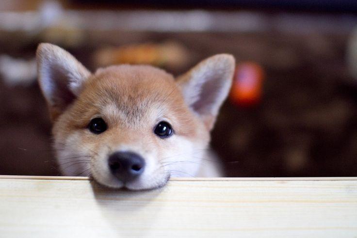 テーブルを噛む | This is photo diary of Yuzu, shiba-inu, 11/1/2012, male