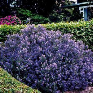 17 meilleures id es propos de arbuste fleurs bleues sur for Arbuste persistant a fleurs bleues