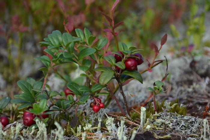 Lingon - Lingonberry