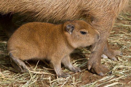 Baby capybara